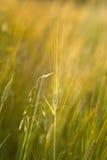Rye Stockfoto