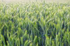 The rye royalty free stock photos