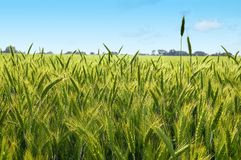 The rye Royalty Free Stock Photo
