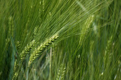 Rye. Ear of rye in the rye field royalty free stock photography