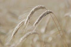 Rye Stock Image