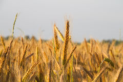 Rye At Sunset Royalty Free Stock Photos