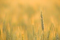 Rye au coucher du soleil Images stock