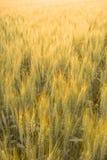 Rye au coucher du soleil Photographie stock libre de droits