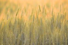 Rye au coucher du soleil Photo stock