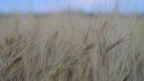 Rye auf dem Gebiet in der Ruhe stock video footage