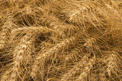 Rye background Stock Photography