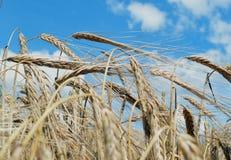 Rye bauen das goldene Lebensmittel der Haferwolkengoldgerste an, das Getreidegoldblauen gelben ländlichen Betriebsnaturerntemais- Lizenzfreie Stockbilder