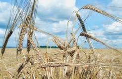 Rye bauen das goldene Lebensmittel der Haferwolkengoldgerste an, das Getreidegoldblauen gelben ländlichen Betriebsnaturerntemais- Stockbilder