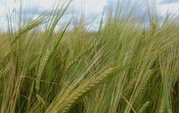 Rye bauen das goldene Lebensmittel der Haferwolkengoldgerste an, das Getreidegoldblauen gelben ländlichen Betriebsnaturerntemais- Lizenzfreie Stockfotografie