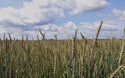 Rye bauen das goldene Lebensmittel der Haferwolkengoldgerste an, das Getreidegoldblauen gelben ländlichen Betriebsnaturerntemais- Stockfoto