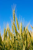 Rye in the  blue sky Royalty Free Stock Photography