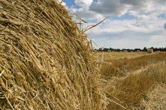 Rye boll var syns dess gula stems Arkivfoto