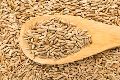 Rye cereal grain. Grains in wooden spoon. Close up. Stock Photo
