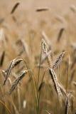 Rye - cereale de sécale Photos libres de droits