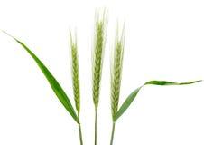 Rye (cereale del Secale) imagen de archivo