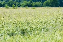 Rye corn Royalty Free Stock Photo