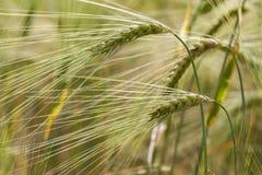 Rye - corn. Rye corn in a macro shot stock photo