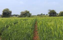 Rye crop growing field in rural England . Stock Photo