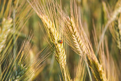 The rye crop  and ladybug Royalty Free Stock Images