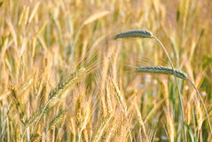 The rye crop Royalty Free Stock Photography
