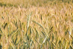 The rye crop Royalty Free Stock Images