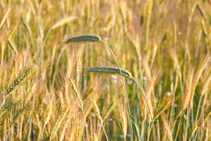 The rye crop Royalty Free Stock Photo