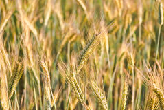 The rye crop Royalty Free Stock Photos