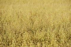 A rye crop, shallow depth of field. A ripe rye crop, shallow depth of field Stock Image