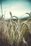 Rye dans la fin d'été images stock