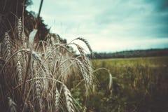 Rye dans la fin d'été Photo libre de droits