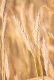 Rye, das auf Feld wächst Stockfotografie