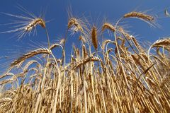 Rye. Detail of growth rye in summer royalty free stock photo