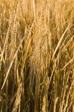 Rye ears Stock Image