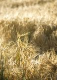 Rye Ears Royalty Free Stock Image