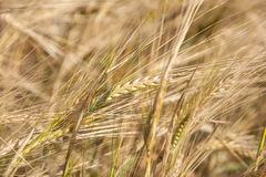Rye ears close up in nature Stock Photography