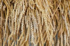 Rye ears close up.Ripe ears of rye Secale cereale in the field.Autumn harvest concept.Selective focus. Royalty Free Stock Photo