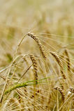 Rye ears on field background Royalty Free Stock Photography