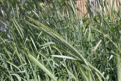 Rye ears in a field. Rye ears (Secale cereale) growing in a field, in the spring stock images