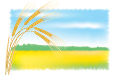 Rye ears and field. Vector illustration. Rye ears and field. Vector illustration with full color background Royalty Free Stock Images