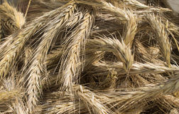 Rye ears harvested. From the field, detail view stock photos
