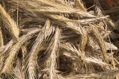 Rye ears harvested. From the field, detail view Stock Images