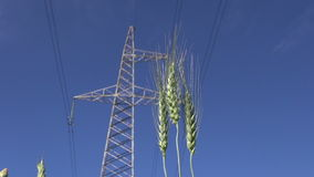Rye ears and High voltage electrical tower stock footage