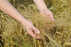 Rye ears in man's hands Stock Image