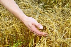 Rye ears in man`s hands Royalty Free Stock Photography