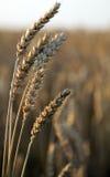 Rye ears, nature background Stock Image