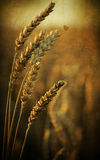 Rye ears, nature background Stock Photography