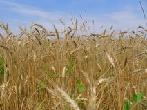 Rye Ears On A Background Of Blue Sky Royalty Free Stock Photo