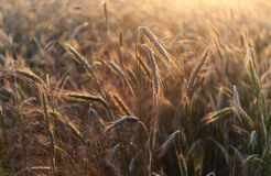 Rye ears at sunset Stock Image