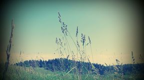 Rye. The ears of wild wheat are bent under pressure of wind Royalty Free Stock Image